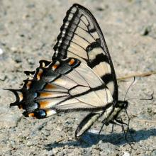 Appalachian Tiger Swallowtail Butterfly