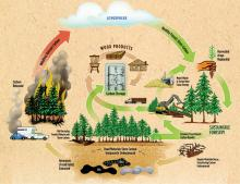 Carbon Cycling and Sustainable Forestry